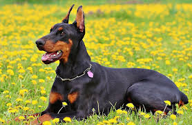 Best Dog Food For Dobermans Our Top 10 Reviews For 2019