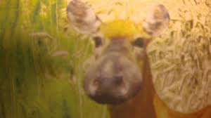 Image result for bullwinkle disease in deer