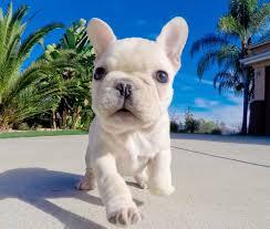 french bulldog puppy wallpaper.  Puppy Puppies Wallpaper Visit And French Bulldog Puppy Wallpaper R