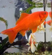 Fantail Goldfish Growth Chart Goldfish Wikipedia
