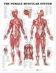 Woman Anatomy Chart The Female Muscular System Anatomical Chart