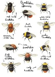 Bee Identification Chart Uk Identify The Bees Catherinepapeillustration Bumblebees