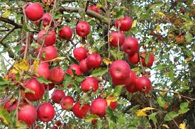 Apfelsorten In Deutschland übersicht Und Eigenschaften