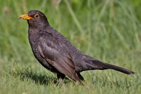 Image result for pic of pair of blackbirds
