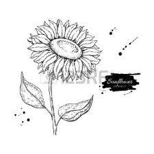 Foto Girasole Disegno Immagini E Vettoriali