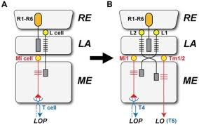L1 And L2 The Separate Origins Of The L1 And L2 Pathways A L1 Open I
