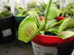 file hirts venus flytrap jpg