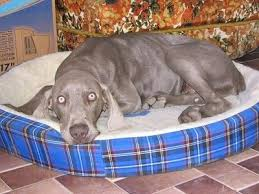 a weimaraner dog is laying down on a blue plaid dog bed and there is a