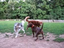 pitbull dog vs wolf. Delighful Pitbull Elsie At Dog Park  Pitbull Vs Wolf Lol For Vs E