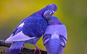 2560x1600 wallpapers for beautiful love birds wallpapers