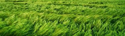 tall green grass field. Beautiful-green-tall-grass-field-illustration-background-header.jpg Tall Green Grass Field E