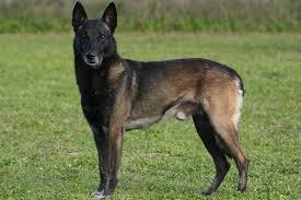 Canine Lymphoma Symptoms Renal Lymphosarcoma In Dogs Symptoms Causes Diagnosis