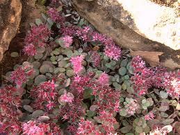 hylotelephium cauticola