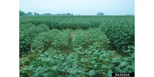 Cover Crops To Manage Soybean Cyst Nematode Morning Ag Clips