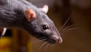 keep mice and rats out of the coop