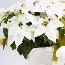 Weihnachtsstern Weiß