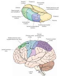 prinl affe projections to the motor cortex note that the cerebellum and basal ganglia gain