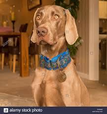 Weimaraner German Hunting Dog Stock ...