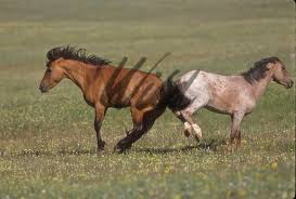 wild paint horses rearing. Delighful Horses Wild Horses Image With Paint Horses Rearing
