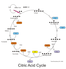 medical physiology basic biochemistry sugars   wikibooks  open        citric acid cycle pathway