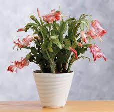 Better Than Poinsettias 5 Christmas Gift Plants  Midwest LivingChristmas Gift Plants
