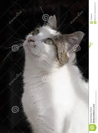 beautiful white cats wallpaper. Simple Wallpaper This Beautiful White Cat Is A Halfbreed Her Name Susy Coat  Very Soft And Her Eyes Are Green Nose Pink She Sweet With Beautiful White Cats Wallpaper E
