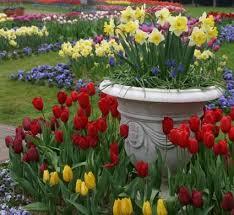 garden bulbs. Daffodils In A Container Garden Bulbs