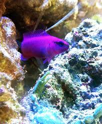 Dottyback Compatibility Chart Orchid Dottyback Hardy Peaceful And Just Right For Reef Tanks