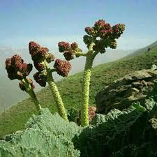 بیماریهای مزمن کبدی را با این گیاه شگفتانگیز ایرانی درمان کنید
