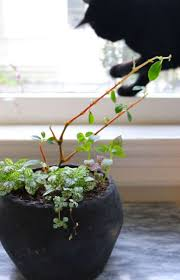 Coffee plants can be bought on amazon, your local garden center and from time to time at the local supermarket as well as at offline and online plant stores. Ask The Expert Will A Poisonous Plant Really Kill Your Pet Gardenista