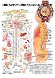Details About New The Autonomic Nervous System Anatomical Diagram Chart Print Premium Poster
