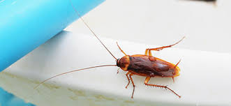 Cockroaches | Kingston Pest Control, Exterminator and Bed Bug Treatment