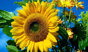 Image result for yellow sunflower