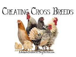 Different Types Of Chickens Chart 15 Correct Bantam Breed Chart
