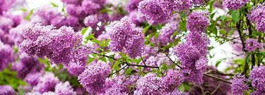 lilac edible flower