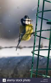 bluecyanistes caeruleus on a squirrel proof garden bird feeder in winter somerset uk
