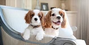 english toy spaniel pet dog breeds