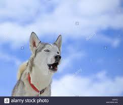 Siberian husky dog barking Stock Photo ...