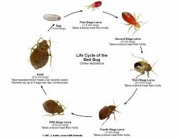 Size Of Bed Bugs Chart Bed Bugs Pictures Actual Size Stages And Skin Bites