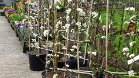 Espalier  Fine GardeningFruit Tree Shapes