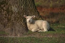 Duinen zathe durft te investeren tijdens corona: A Lamb Laying In The Sun Lamb Rtvdrenthe Drentsfriesewold Drenthe Nature Sheep Animalsb Netherlands Natuurmonumenten Photo