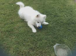 samo female puppy for margate kent pets4homes samo puppies for