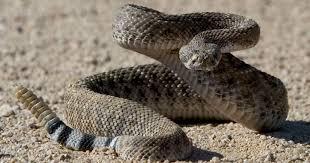 rattlesnake strike pose. Simple Rattlesnake Intended Rattlesnake Strike Pose N