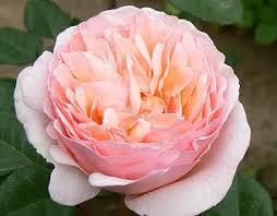 garden roses. PRINCESS CHARLENE® Garden Roses S