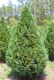 Favorite Christmas Tree Varieties-South Carolina Christmas Tree ...