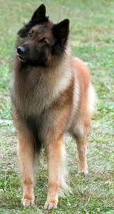 belgian tervurens are highly intelligent however they can be stubborn and have minds of their