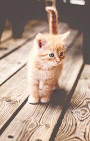 cute cats hd wallpapers free cute cats munchkin