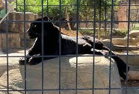 пантера ранила американку забравшуюся в её вольер для селфи