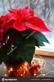 Red Weihnachtsstern Euphorbia Pulcherrima Einem Blumentopf