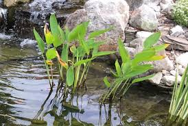 why are my pond plants turning yellow